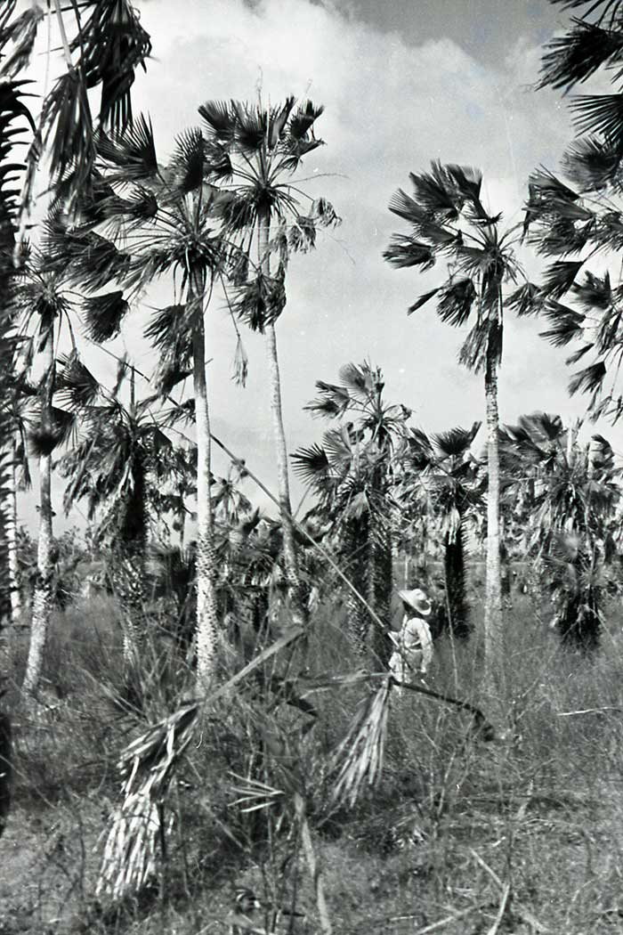 Harvesting Carnaúba palm leaves